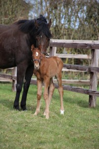 Gorgeous Sharmadal Colt at 15 hours old born on April Fools Day